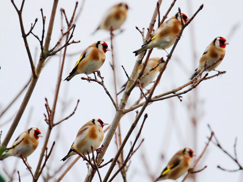 goldfinch-mbaker