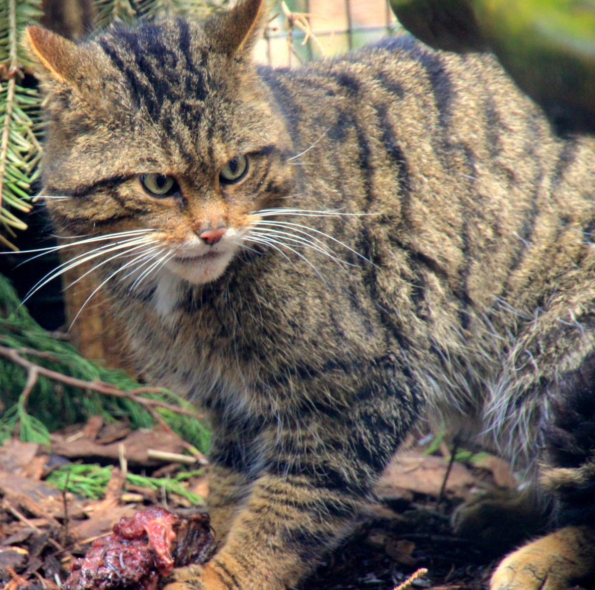 highland wild cat4