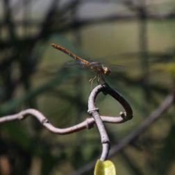Athenian dragonfly