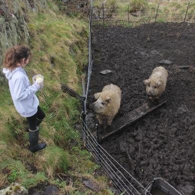 kit sheep pigs
