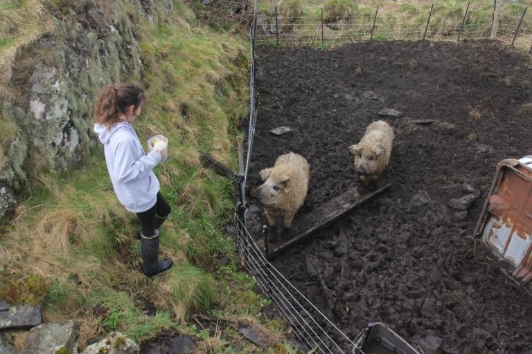 kit sheep pigs.JPG