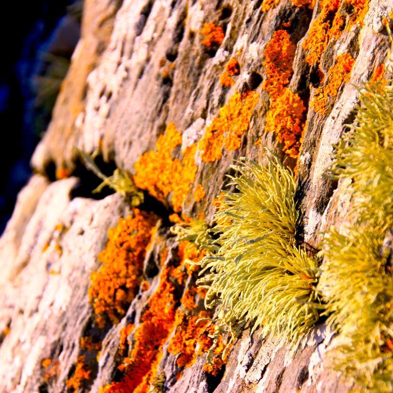 lichen 4