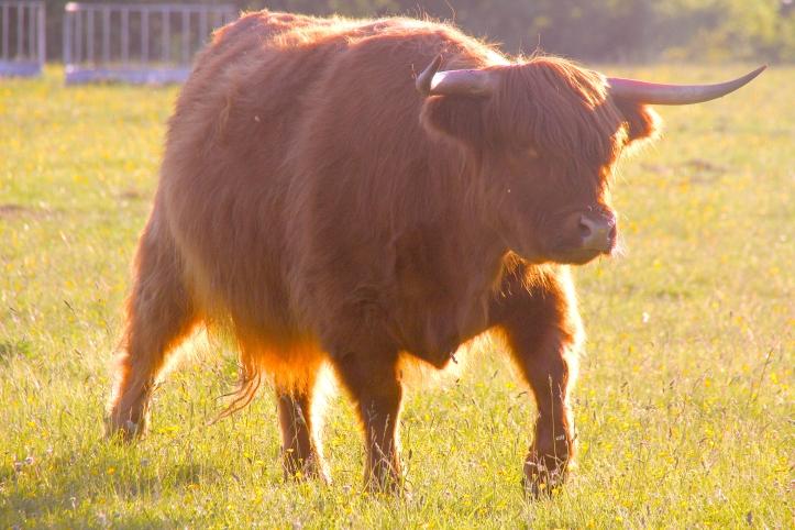 highland cow 2 rod kersh
