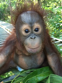 josh baby borneo orangutan.jpg
