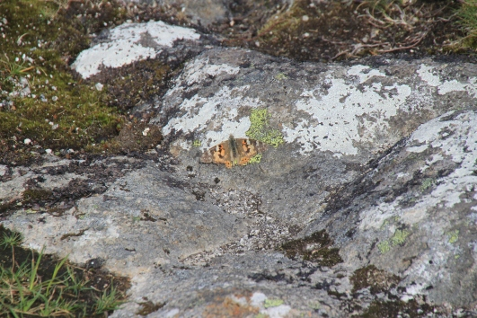 butterfly on the sgurr.JPG