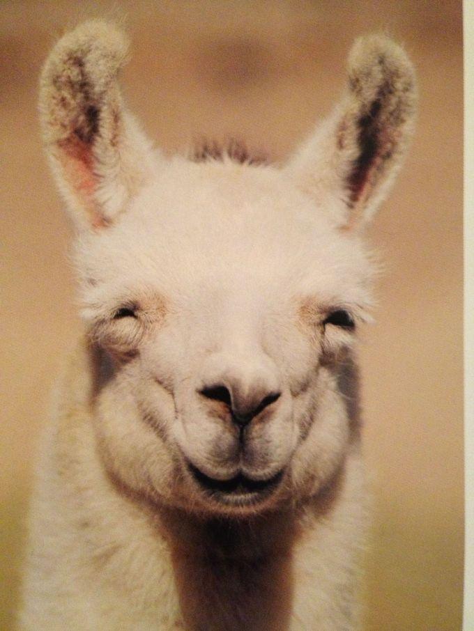 smiling llama.jpg