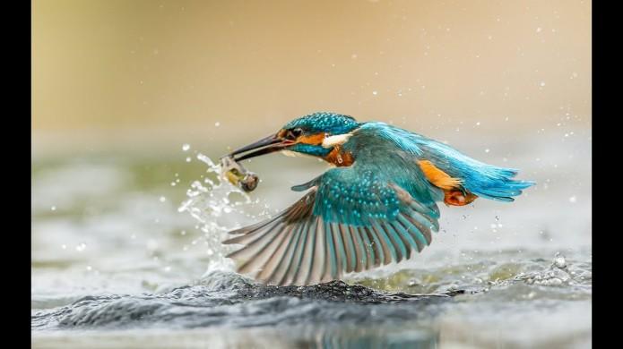 kingfisher hunting.jpg