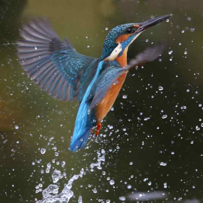 Kingfisher-opt by gardenbird.jpg