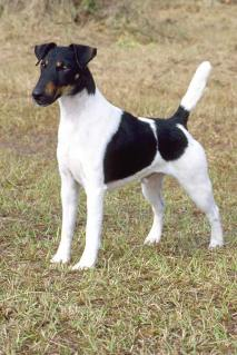 smooth fox terrier.jpeg