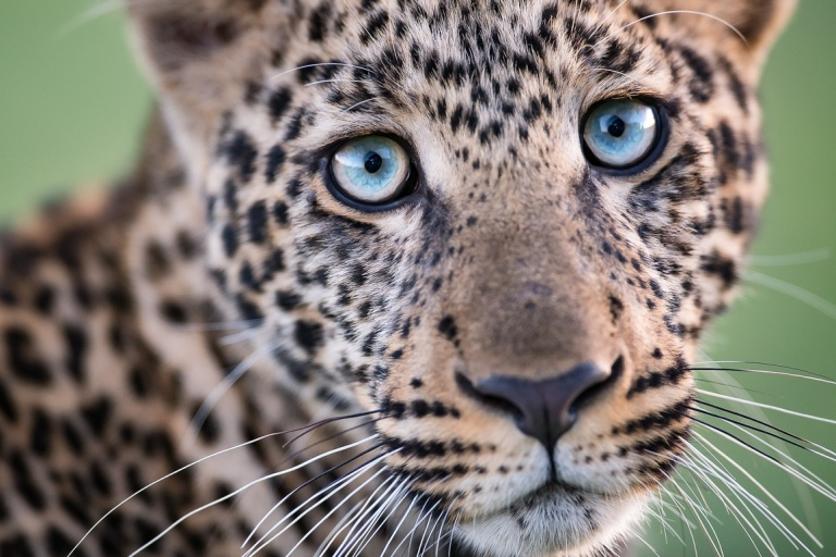 07-Arnfinn-Johansen-Norway-Leopard-Cub-Close-Up.jpg