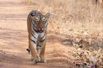 Panthera_tigris_tigris_Tidoba_20150306.jpg