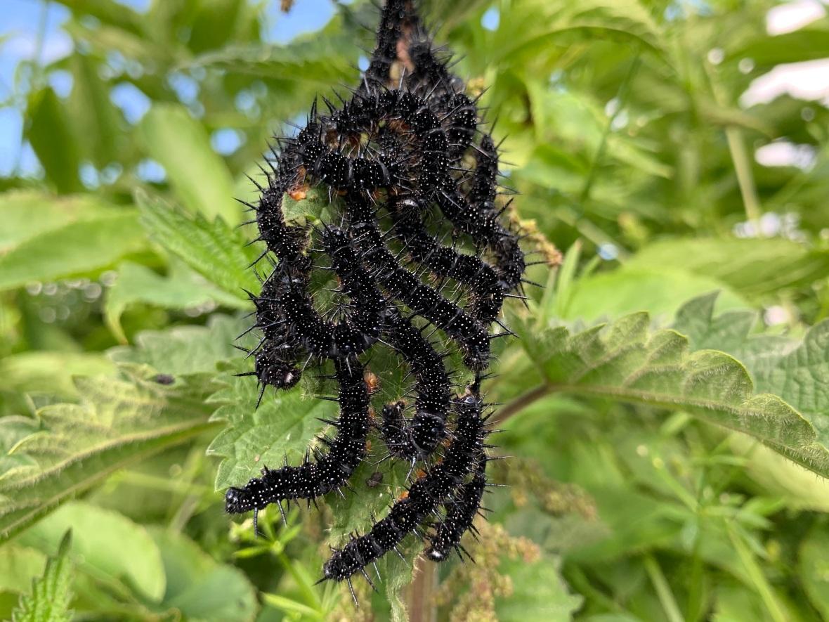 harlequin caterpillars.jpg