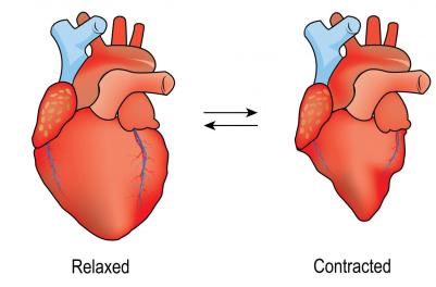diagram-of-a-heart-relaxing-and-contracting-diastole-vs-systole.jpg