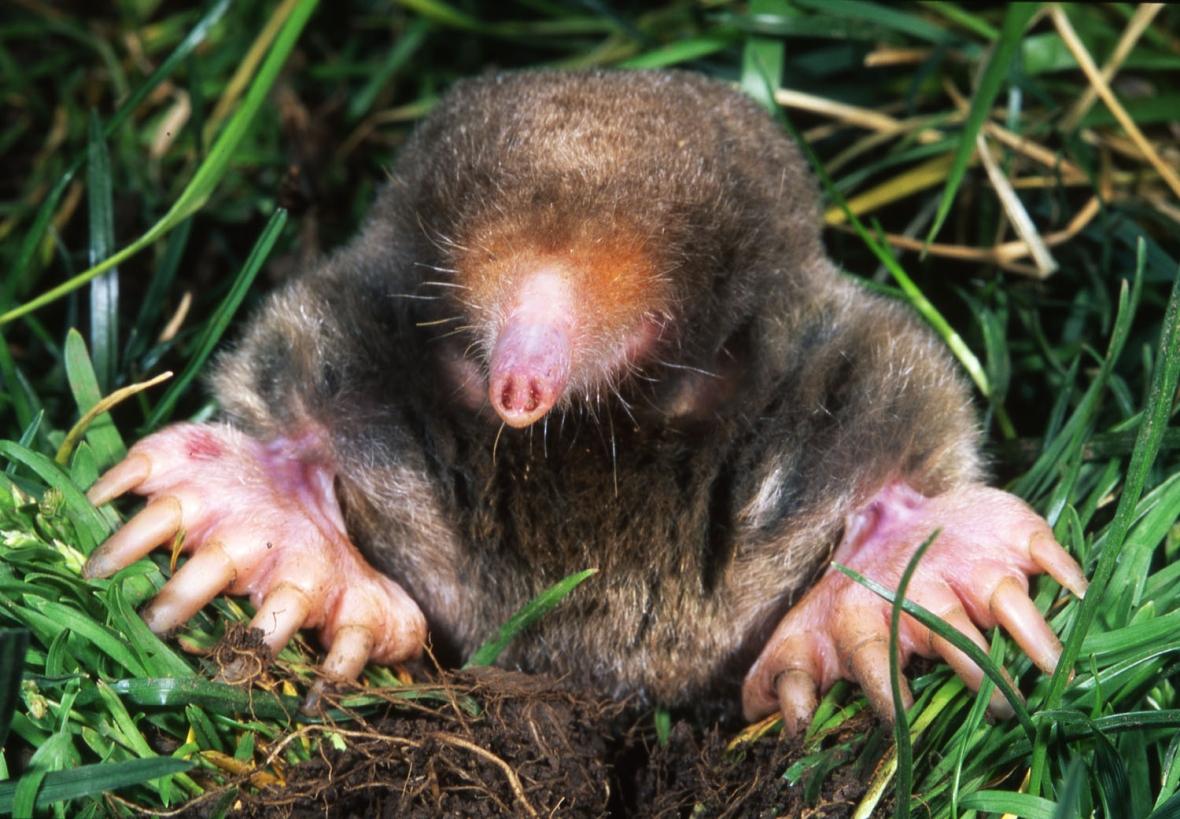 ScalopusAquaticus.jpg