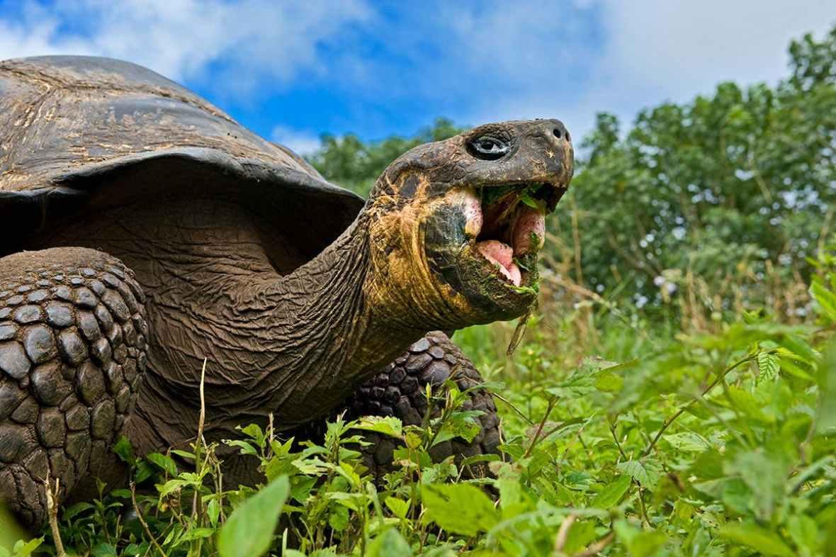 tortoise chomping.jpg